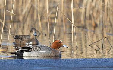 Widgeon (Mareca penelope) pair amongst reeds. Tervatehdas, Finland. April.