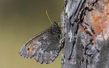 Baltic grayling butterfly (Oeneis jutta) male resting on tree trunk. Kivisuo, Finland. June.