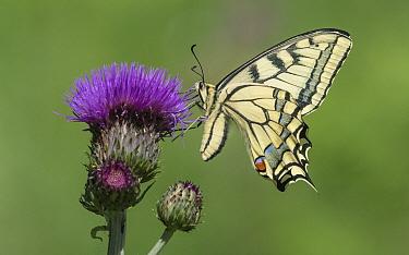 Swallowtail butterfly (Papilio machaon) nectaring on thistle. Onkisalo, Finland. June.