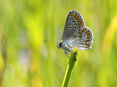 Brown argus butterfly (Aricia agestis) sunning in a chalk grassland meadow, Wiltshire, UK, May.