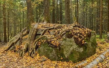 Aspen (Populus tremula) growing on rock in woodland. Hyyppaanvuori, Finland. October.