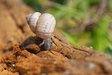 Land winkle / Round-mouthed snail (Pomatias elegans), a land snail with an operculum, closely related to marine snails, on the move on a chalk grassland slope, near Bradford on Avon, Wiltshire, UK, Ju...