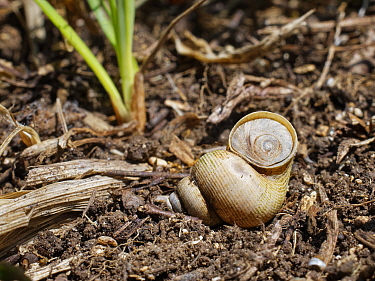 Land winkle / Round-mouthed snail (Pomatias elegans), a land snail closely related to marine snails, positioned to show its tough operculum, on a chalk grassland slope, near Bradford on Avon, Wiltshir...