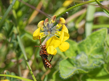 Blunt-jawed nomad bee (Nomada striata), a parasite of solitary bees, nectaring on Horseshoe vetch (Hippocrepis comosa) flowers on a chalk grassland slope, near Bradford on Avon, Wiltshire, UK, May.
