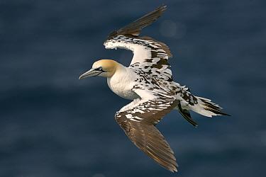 Gannet (Morus bassanus) sub-adult in flight, Troup Head, Scotland, UK, July