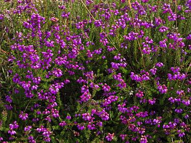 Bell heather (Erica cinerea) Arne RSPB Reserve, near Wareham, Dorset, England, UK, July.