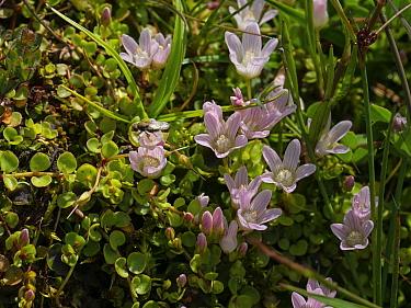 Bog pimpernel (Anagallis tenella) Hatchet Pond, New Forest National Park, Hampshire, England, UK, June.