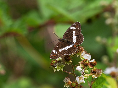 White admiral butterfly (Limenitis camilla) showing upperside, feeding on Bramble (Rubus fruiticosus) Church Place Inclosure, New Forest National Park, Hampshire, England, UK, July.