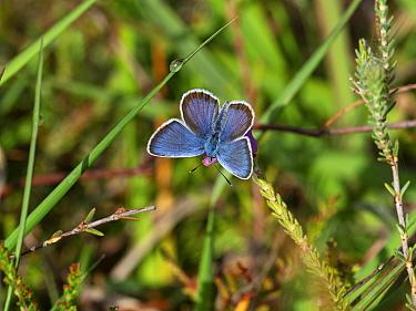 Silver-studded blue butterfly (Plebejus argus) male feeding on Cross-leaved heath (Erica tetralix) , Burley Rocks, New Forest National Park, Hampshire, England, UK, June.