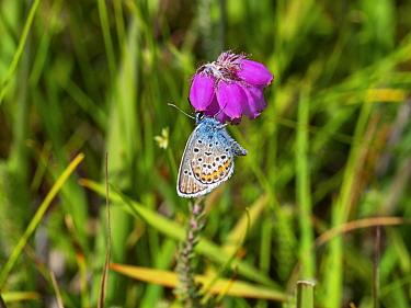 Silver-studded blue butterfly (Plebejus argus) showing underside, feeding on Cross-leaved heath (Erica tetralix) , Matley Bog, New Forest National Park, Hampshire, England, UK, July.
