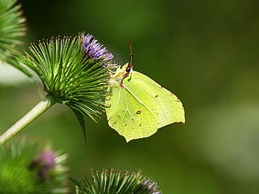 Brimstone butterfly (Gonepteryx rhamni) male feeding on Lesser burdock (Arctium minus) Westhay Moor Nature Reserve, Somerset Wildlife Trust Reserve, Avalon Marshes, Somerset Levels and Moors, Somerset...