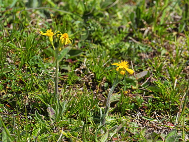 Field fleawort (Tephroseris integrifolia) growing on chalk downland, Martin Down National Nature Reserve, Dorset, England, UK, May.