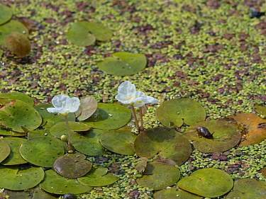 Frogbit (Hydrocharis morsus-ranae) growing in a roadside ditch, Somerset Levels and Moors, Somerset, England, UK, July.