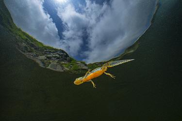 Wild Alpine newt (Ichthyosaura alpestris) male close to the surface Lago Nero, Pistoia, Tuscany, Italy.