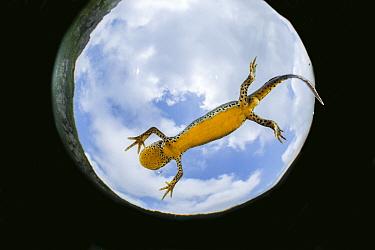 Wild Alpine newt (Ichthyosaura alpestris) female close to the water surface Lago Nero, Pistoia, Tuscany, Italy.