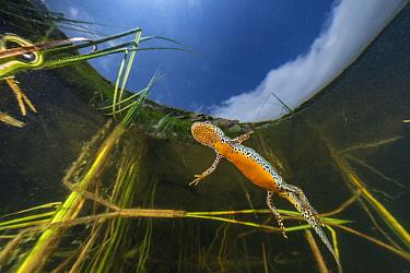 Wild Alpine newt (Ichthyosaura alpestris) female close to the water surface, Lago Nero, Pistoia, Tuscany, Italy.
