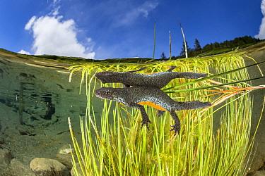 Wild Alpine newt (Ichthyosaura alpestris) female Bedretto valley, River Ticino, Switzerland