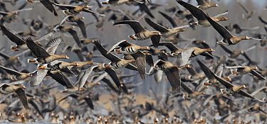 White-fronted goose (Anser albifrons) and Taiga bean goose (Anser fabalis) flock in flight. Latvia. April.