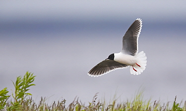 Little gull (Hydrocoloeus minutus) in flight. Vaala, Finland. June.