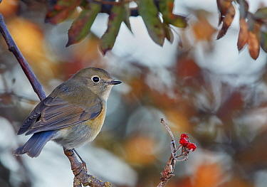 Red-flanked bluetail (Tarsiger cyanurus) male perched on branch. Uto, Finland. October.