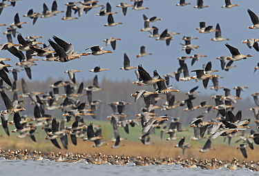 White-fronted goose (Anser albifrons) and Taiga bean goose (Anser fabalis) flocks flying and on water. Latvia. April.
