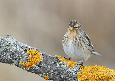 Twite (Carduelis flavirostris) perched on lichen covered branch. Uto, Finland. April.