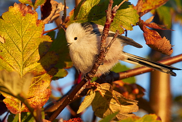 Long-tailed tit (Aegithalos caudatus) perched in tree in morning light. Uto, Finland. October.