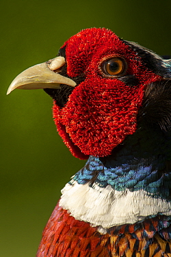 Pheasant (Phasianus colchicus) adult male close-up head portrait in garden, Somerset, UK, May.