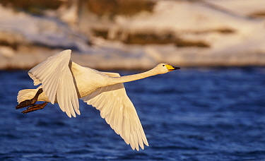 Whooper swan (Cygnus cygnus) in flight over sea. Uto, Finland. January.