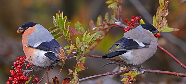 Bullfinch (Pyrrhula pyrrhula) pair feeding on Rowan (Sorbus sp) berries whilst perched in tree, looking in opposite directions. Uto, Finland. October.