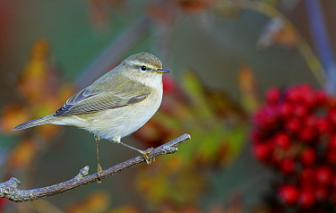 Chiffchaff (Phylloscopus trochilus) perched on branch. Uto, Finland. October.