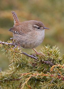 Wren (Troglodytes troglodytes) perched on branch. Uto, Finland. April.