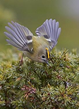Goldcrest (Regulus regulus) wings spread, taking off. Uto, Finland April.