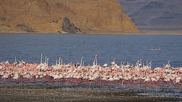 Flamingos (Phoenicopterus sp.) on shores of Lake Logipi, Great Rift Valley, Northern Kenya. 2020