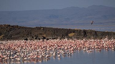 Flamingos (Phoenicopterus sp.) on shores of Lake Logipi, Great Rift Valley, Northern Kenya 2020