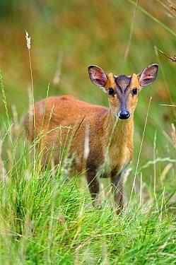 Muntjac deer (Muntiacus reevesi) young male, Devon, UK July.