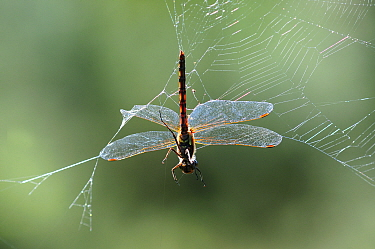 Common darter (Sympetrum striolatum) caught in garden spider web. Studland heath, Dorset, UK September.
