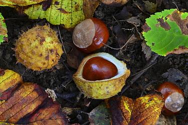 Horse chestnuts (Aesculus hippocastanum) in leaf litter. Dorset UK September.