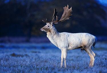 Fallow deer (Dama dama) white stag on frosty morning, Bushy Park, London, UK. November.