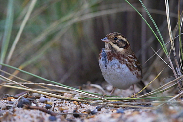 Rustic bunting (Emberiza rustica) first winter, rare migrant, Lowestoft, Suffolk, England, UK. October