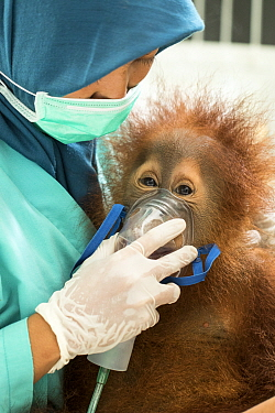 Treatment of injured Sumatran orangutan (Pongo abelii) , Quarantine Centre of SOCP (Sumatran Orangutan Conservation Program) near Medan, North sumatra
