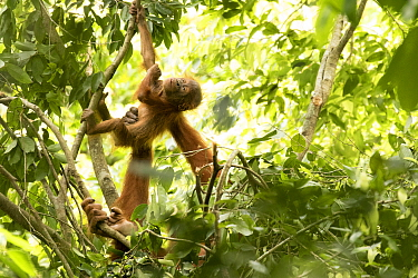 Sumatran orangutan (Pongo abelii) female helping infant climb. The mother Marconi had been rehabilitated by SOCP program. Jantho forest , Sumatra.