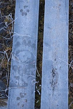 Eurasian brown bear (Ursus arctos) tracks and Eurasian wolf (Canis lupus) tracks on walkway, Kuhmo, Finland.