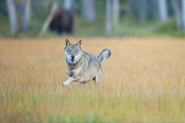 Eurasian wolf (Canis lupus) with Eurasian Brown bear (Ursus arctos) in the background. Kuikka, Kainuu, Finland, August.