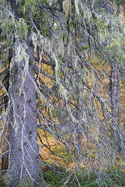 Norway spruce tree (Picea abies) covered in Alectoria sarmentosa lichens, Muddus National Park, Laponia UNESCO World Heritage Site, Norrbotten, Lapland, Sweden September 2020