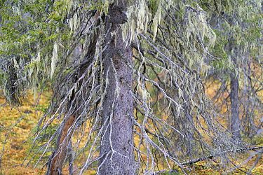 Norway spruce (Picea abies) covered in Alectoria sarmentosa lichens, Muddus National Park, Laponia UNESCO World Heritage Site, Norrbotten, Lapland, Sweden September 2020