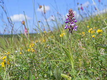 Chalk fragrant orchid (Gymnadenia conopsea) on chalk grassland slope. Great Cheverell Hill SSSI, Salisbury Plain, Wiltshire, England, UK. May.