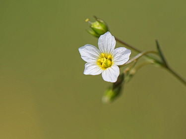 Fairy flax (Linum catharticum), close up. Great Cheverell Hill SSSI, Salisbury Plain, Wiltshire, England, UK. May.