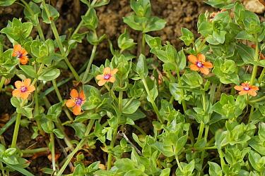 Scarlet pimpernel (Lysimachia arvensis). Wiltshire, England, UK. May.