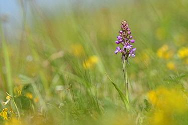 Chalk fragrant orchid (Gymnadenia conopsea) in chalk grassland. Great Cheverell Hill SSSI, Salisbury Plain, Wiltshire, England, UK. May.